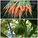 Bloggang.com : Little pearl : พืชผักสวนครัว ( ฮั้วกิ๋นบ่ได้เจ้า )