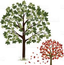 Maple Tree Symbolism by Maple Tree Stock Vector Art 165646025 Istock