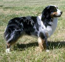 3 australian shepherd mix puppies for adoption adopt an australian shepherd dog breeds petfinder