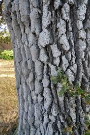 White Oak Bark Wild Harvests How To Eat An Acorn