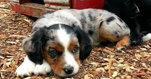 husky x australian shepherd for sale cute crossbreed dogs that will make you fall in love with