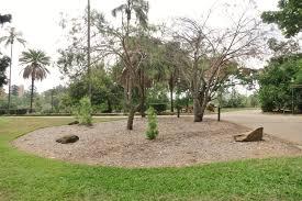 Brisbane City Botanic Gardens by National Trust Turkish Pine Pinus Brutia