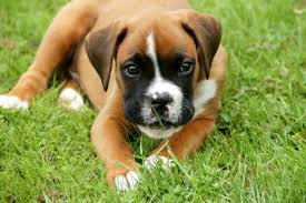 boxer dog uk boxer dog houndlounge co uk houndlounge co uk