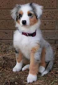3 australian shepherd mix puppies for adoption the pomeranian australian shepherd mix much more than just a