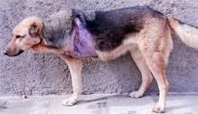 ژرمن شپرد آسیب دیده از گرگ