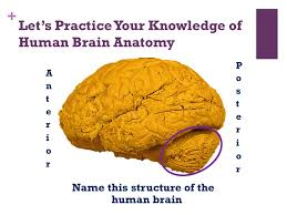 Sheep Brain Anatomy Game A Visual Guide To The Human Brain Ppt Download