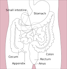 gastrointestinal tract wikipedia