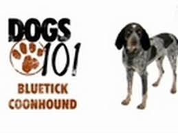 training a bluetick coonhound to hunt dogs 101 bluetick coonhound youtube