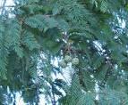 <b>Taxodiaceae</b>-Metasequ.