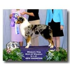 australian shepherd queen creek az hatch horses u0026 aussies australian shepherd dog breeder in queen