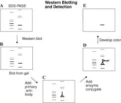 Can Western Blots Be Trusted  Novus Biologicals