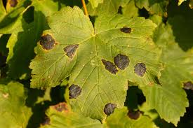 Maple Tree Symbolism by Maple Tar Spot Disease Learn About The Control Of Maple Tar Spot