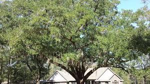 White Oak Bark Oak Tree Seeds From Around The World
