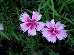 Flowers Plants by Carnation Flower Plants Flowers Carnation Flower Draw