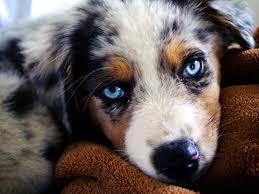 australian shepherd qualities australian shepherd puppies archives doglers