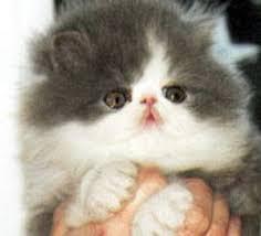صور قطط تدحك,صور قطط,صور قطط جميلة,صور قطط حلوه Images?q=tbn:ANd9GcTDqfTBIDd9kzMZ62n_ACjbwqR5ODyJlD6-pVLuGJsYurQezrXjxw