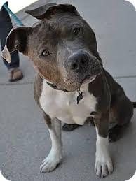 american pitbull terrier for sale in dallas texas dallas ga pit bull terrier meet jiggy a dog for adoption