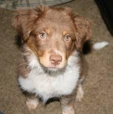australian shepherd queensland heeler texas heeler dog breed information and pictures