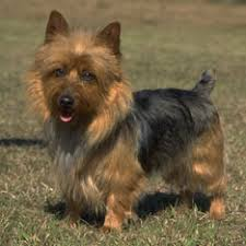 affenpinscher brown dog breeds types of dogs american kennel club