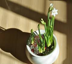 what bulbs can be grown as houseplants