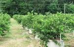 Poo nita farm: การปลูกมะนาวนอกฤดู ใน