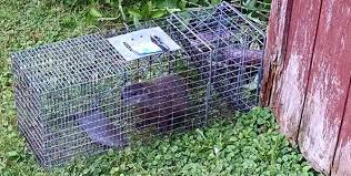 How Do You Get Rid Of Possums In The Backyard by How To Get Rid Of Groundhogs