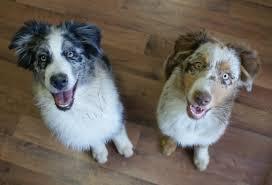 australian shepherd qualities puppy info imagineer australian shepherds