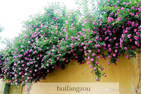 sale 100 seeds climbing rose seeds plants spend climbing roses