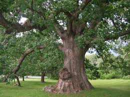 White Oak Bark Types Of Oak Trees With Pictures Of Trunk Bark White Oak Oak