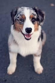 australian shepherd queensland heeler best 25 aussie dogs ideas on pinterest mini aussie mini aussie