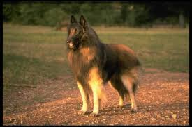 belgian shepherd nc belgian sheepdog puppies and dogs for sale in usa