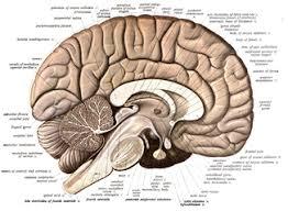 Sheep Brain Anatomy Game Human Brain Wikipedia