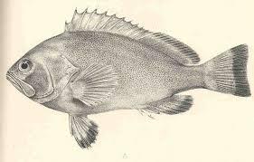 Marquesan grouper