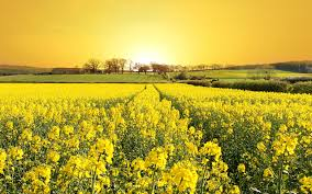 Tree With Bright Yellow Flowers - field of flowers wallpapers wallpaper field of flowers