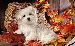 cute fall wallpaper backgrounds wallpaper with a cute maltese dog hd animals wallpapers