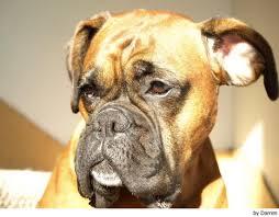 top 10 razas de perros más caros (2011)
