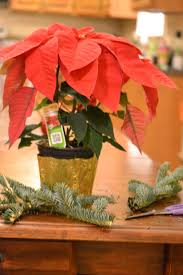 home depot black friday sale poinsettia dressing up a cheap poinsettia creative southern home