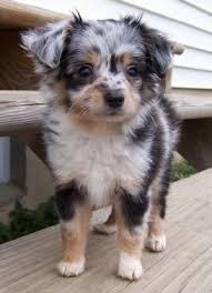 6 month old mini australian shepherd aussiedoodle dog breed information and pictures