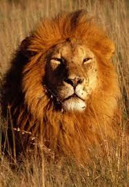 Pride: A Lion RP Images?q=tbn:ANd9GcTNZa-ell0wMULuDA4nOYpWlhSYkU5OMFQzV7Ajd2qrwHESQRHf