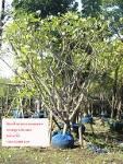 ร้านต้นไม้น้องเบลล ์ศูนย์รวมไม้ล้อม ลีลาวดี ต้นใหญ่ล้อม กิ่งชำ ...