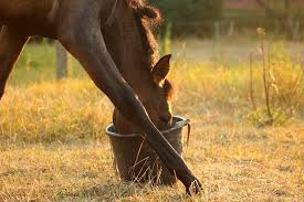 Australian research has shown that equines can successfully use both visual and auditory cues to get a reward  with ponies outperforming horses when     Paulick Report