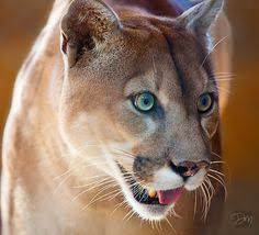Photo galleries  Photos and Babies on Pinterest Pinterest Florida Panther in habitat at Gatorama in Palmdale  FL