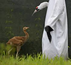 little white lies costumes fool audubon whooping cranes into