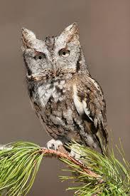 eastern screech owl wikipedia