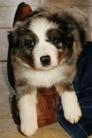 australian shepherd queensland heeler balou adopted puppy 13 385 los banos ca australian