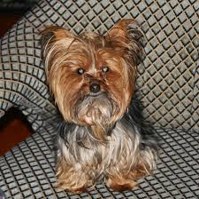 hairstyles for male yorki tuny