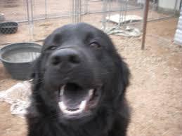 belgian sheepdog chow mix buchanan dam tx newfoundland meet bear a dog for adoption