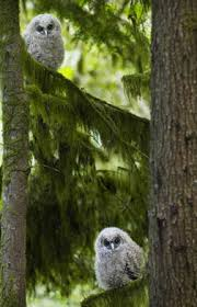 Northern Spotted Owl nestlings