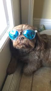 buy a affenpinscher happy shih tzu u2013 iheartdogs com