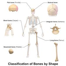 Human Anatomy And Physiology Marieb 9th Edition Quizzes Anatomy And Physiology Tissue Quiz At Best Anatomy Learn